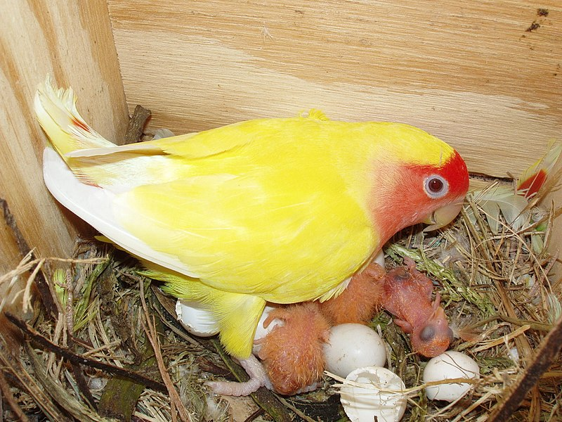 Lovebird with newborn chicks