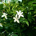Night-flowering jasmine-.jpg