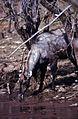 Nilgai (Boselaphus tragocamelus) bull (20159818850).jpg
