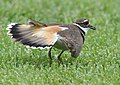 No one can fake an injury like a Killdeer (34549194810).jpg