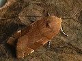 Noctua fimbriata - Broad-bordered yellow underwing - Земляная совка каёмчатая (41089362471).jpg