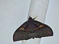 Noctuid Moth (Ischyja inferna) male (15516127019).jpg