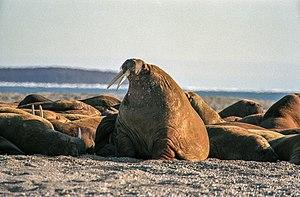 Nordaustlandet - Walrus colony on Nordaustlandet