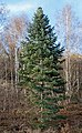 Nordmann fir among birches 2.jpg