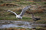 Northern Giant Petrel and Brown Skua debate the finer points of dining etiquette (5751119511).jpg
