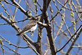 Northern Rough-winged Swallow (26415496221).jpg