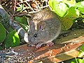 Norway or Brown Rat 05.jpg