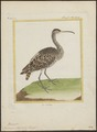 Numenius phaeopus - 1700-1880 - Print - Iconographia Zoologica - Special Collections University of Amsterdam - UBA01 IZ17400075.tif