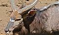 Nyala Bull (Tragelaphus angasii) (6607229613).jpg