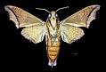 Nyceryx stuarti MHNT CUT 2010 0 198 Guyane française route de l'Est N2 Pk 77 male ventral.jpg