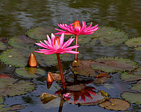 Nymphaea pubescens (Indian red water lily), Hyderabad, India - 20090613-01.jpg