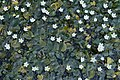 Nymphoides hydrophylla 7897.jpg