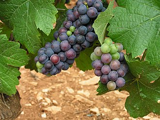 Harvest (wine) - Clusters of ripe and unripe Pinot noir grapes.