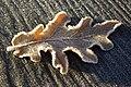 Oak Leaf - geograph.org.uk - 615251.jpg