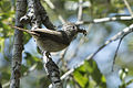 Oak Titmouse with food for chicks.jpg