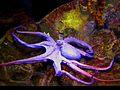 Octopus vulgaris , Октопод !.JPG