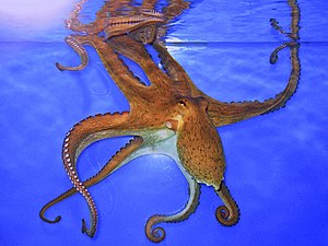 Common octopus - Common octopus, Staatliches Museum für Naturkunde Karlsruhe, Germany