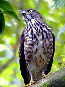 Old Friend Accipiter trivirgatus.jpg