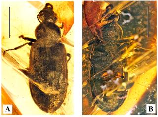 <i>Omma</i> Genus of beetles