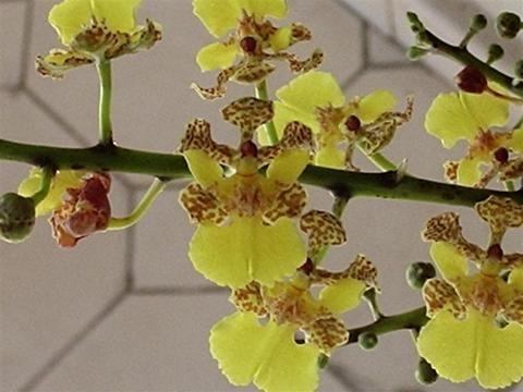 Oncidium cebolleta