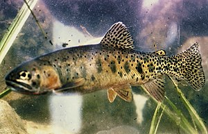 New Mexico Department of Game and Fish - Rio Grande cutthroat trout, a species endemic to the Albuquerque Basin that may be under threat