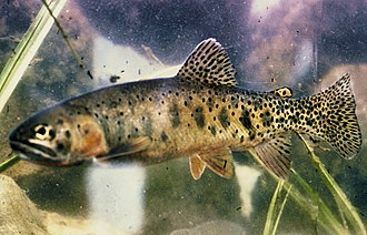 Great Falls (Missouri River) - Westslope cutthroat trout, a fish written about by the Lewis and Clark Expedition at the Great Falls of the Missouri on June 13, 1805.