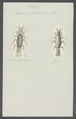 Oniscus thoracicus - - Print - Iconographia Zoologica - Special Collections University of Amsterdam - UBAINV0274 098 13 0004.tif