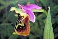 Ophrys holoserica near Jerusalem.jpg