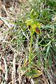 Ophrys lutea subsp galilaea kz9.jpg