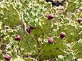 Opuntia dillenii - Opuntia stricta - Montana Colorada - Fuerteventura - Spain - 02.jpg