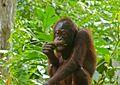 Orang Utan (Pongo pygmaeus) young (8066235469).jpg