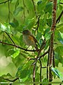 Orange-flanked Bush Robin (Tarsiger cyanurus) (20279505032).jpg