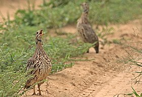 Orange River francolin, , Scleroptila levaillantoides, at Khama Rhino Sanctuary, Botswana (32228273816).jpg