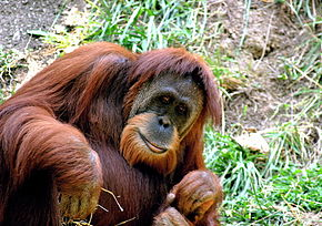 Description de l'image  Orangutan Cincinnati Zoo 002.jpeg.