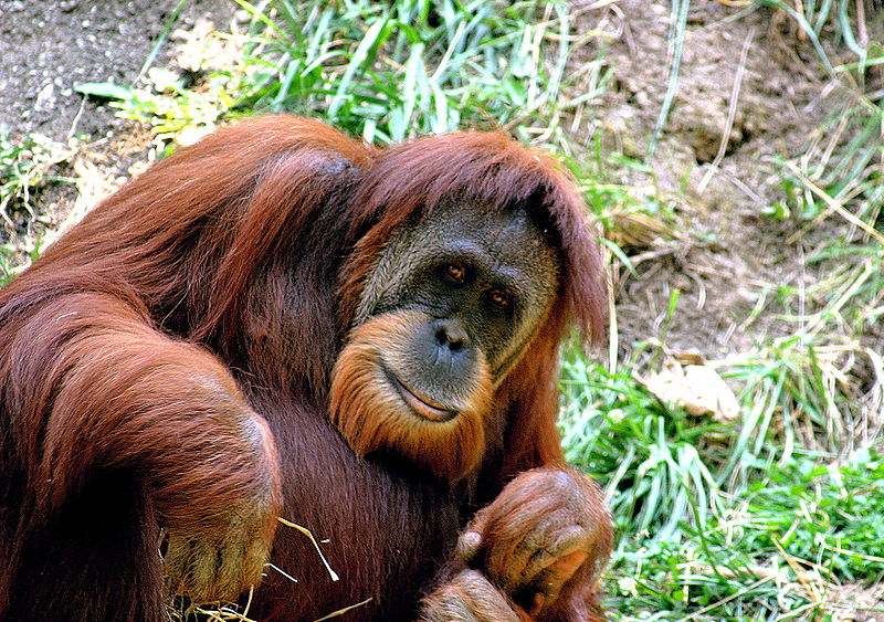 http://upload.wikimedia.org/wikipedia/commons/thumb/0/0c/Orangutan_Cincinnati_Zoo_002.jpeg/800px-Orangutan_Cincinnati_Zoo_002.jpeg