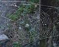 Orbweaver (Araneidae) Web - Kitchener, Ontario 2019-07-28.jpg