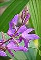 Orchidée jacinthe au bord du lac (Parc oriental, Maulévrier) (7320914232).jpg
