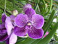 Orchids in Thailand 2013 2735.jpg