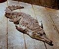OrinocoCrocodile.jpg