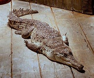 Orinoco crocodile species of reptile