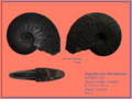 Osperleioceras bicarinatum.png