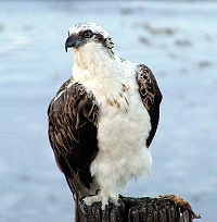 Osprey at North Beach.jpg