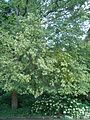 Ostrya virginiana BotGardBln07122011K.JPG