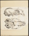 Otaria jubata - schedel - 1700-1880 - Print - Iconographia Zoologica - Special Collections University of Amsterdam - UBA01 IZ21100039.tif