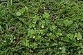 Oxalis corniculata 2620.jpg