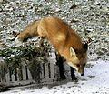 P1010058-fox.jpg