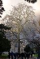 P1150814 Paris V jardin des Plantes platane de Lavoissier rwk.jpg