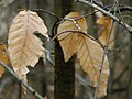 P1290257 Beech Leaves.jpg