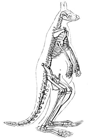 PSM V08 D430 Skeleton of the kangaroo.jpg