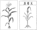 PSM V82 D230 Maize and its proposed asiatic origin.png